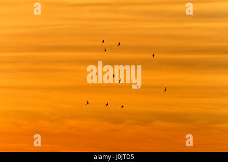 Swifts in Telašćica Nature Park - Stock Photo