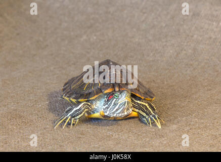 Red-eared slider turtle on a beige background - Stock Photo