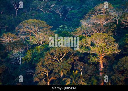 Large Cuipo trees, Cavanillesia platanifolia, in evening light in the rainforest of Soberania national park, Republic - Stock Photo