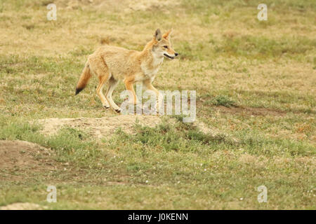 A Coyote running through a Prairie Dog Town in Teddy Roosevelt National Park. - Stock Photo