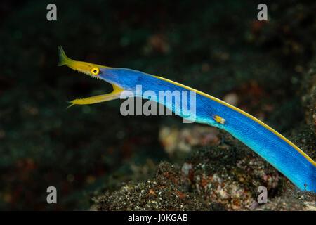 Ribbon Eel, Rhinomuraena quaesita, Bali, Indonesia - Stock Photo