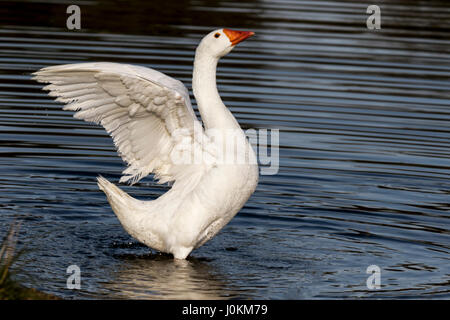 PEKIN DUCK IS A DOMESTICATED DUCK  WHEN MATING, THE MALE WILL MOUNT THE FEMALE AND PUSH HER HEAD UNDER WATER.  THEY - Stock Photo