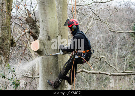 Working at height: a tree surgeon from Arbcore Ltd in a harness cutting the branches of a storm damaged diseased - Stock Photo