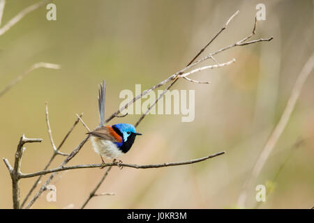 Variegated Fairy-wren on the lookout - Stock Photo
