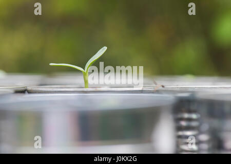 Helianthus annuus. Sunflower seedlings in tin cans - Stock Photo