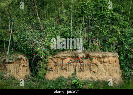 Redandgreen ara parrots watching in the Manu National Park, Peru. They are eating mineral-clay at a clay lick. - Stock Photo