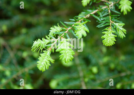 New growth on an evergreen - Stock Photo