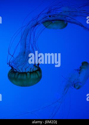 Pacific sea nettle jellyfish in the Aquarium of Quebec - Stock Photo