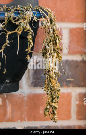 Withered dead wall flowers in side hanging basket - Stock Photo