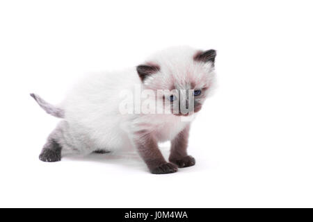 Siamese kitten with blue eyes looks down on white background. Isolated on white background. - Stock Photo