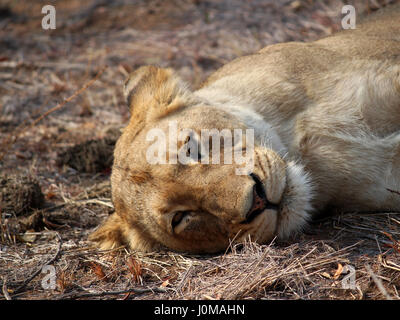 Lioness looking directly into the camera