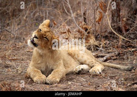 Lion Cub trying to catch a fly with its mouth - Stock Photo