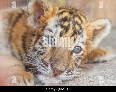 Portrait of manchurian tiger cub - Stock Photo