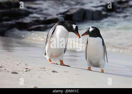 Gentoo penguin on Bleaker Island - Stock Photo