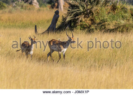 A pair of Red Lechwe in the floodplain of the Okavango Delta, Botswana - Stock Photo
