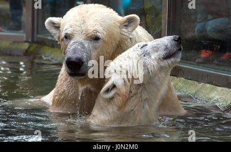 Munich, Germany. 08th Feb, 2016. (FILE) · An archive picture, dated 08.02.2016, shows the polar bear couple, Yoghi - Stock Photo