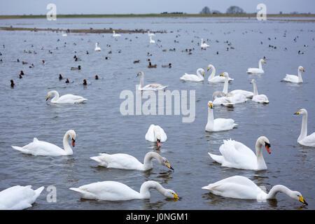 Group of Whooper Swans, Cygnus cygnus, and Mute Swans, Cygnus olor, lake scene some feeding at Welney Wetland Centre, - Stock Photo