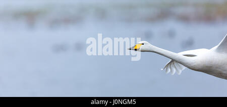 Whooper Swan, Cygnus cygnus, in flight at Welney Wetland Centre, Norfolk, UK - Stock Photo
