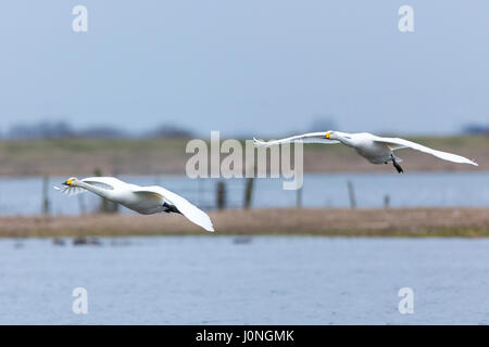 Pair of Whooper Swan, Cygnus cygnus, in flight with wings spread wide about to land at Welney Wetland Centre, Norfolk, - Stock Photo