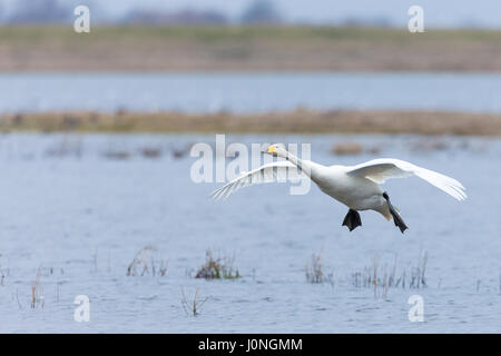 Whooper Swan, Cygnus cygnus, in flight with wings spread wide about to land at Welney Wetland Centre, Norfolk, UK - Stock Photo