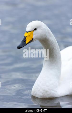Whooper Swan, Cygnus cygnus, close up at Welney Wetland Centre, Norfolk, UK - Stock Photo