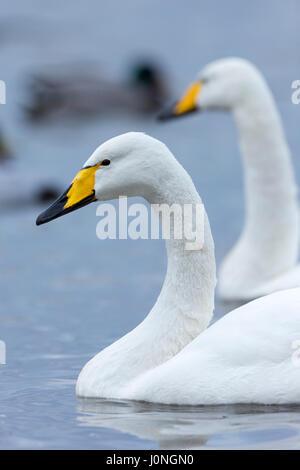 Pair of Whooper Swan, Cygnus cygnus, at Welney Wetland Centre, Norfolk, UK - Stock Photo