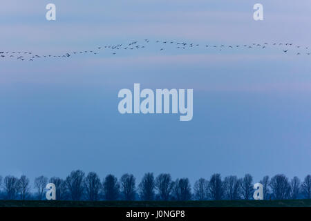Wild goose chase - large lflock of Brent Geese, Branta bernicla, migratory birds in flight over wetlands in North - Stock Photo