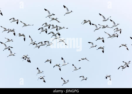 Large flock of Avocets, Recurvirostra, wading birds in flight in North Norfolk, UK - Stock Photo