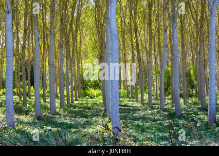 Light and shade tall Birches - managed plantation copse of Silver Birch European White Birch Trees Betula Pendula, - Stock Photo