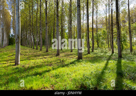Tall Birches - managed plantation copse of Silver Birch European White Birch Trees Betula Pendula in France - Stock Photo