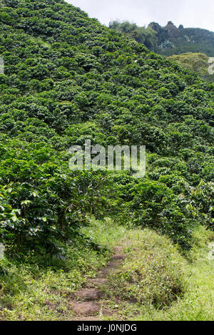 A path leads up into a mountain that is draped in coffee trees as far as the eye can see near Chinchina, Colombia. - Stock Photo