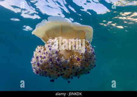 Mediterranean jelly on Kamenjak - Stock Photo