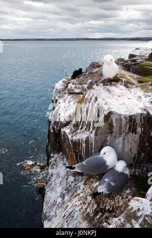 Kittiwake gulls nest on the Farne Islands off the Northumberland coast. - Stock Photo