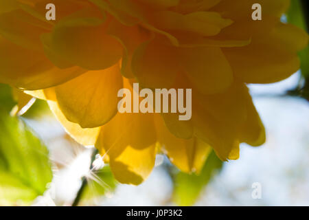 Kerria Japonica spring time macro close-up - Stock Photo