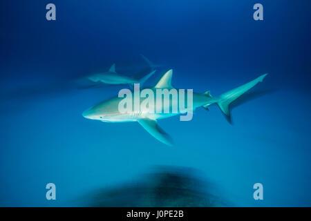 Caribbean Reef Shark, Carcharhinus perezi, Caribbean, Bahamas - Stock Photo