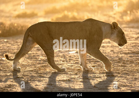 lioness in Etosha National Park, Namibia - Stock Photo
