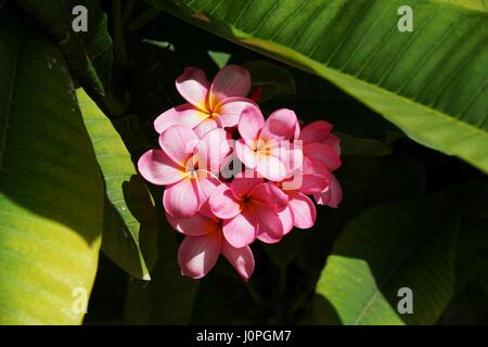 Pink plumeria flower cluster up close. - Stock Photo
