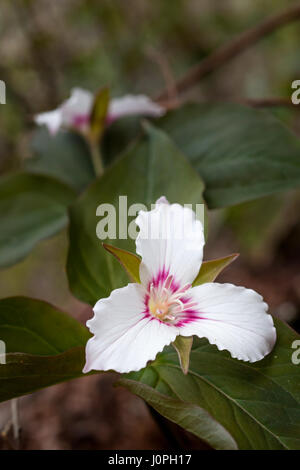The Painted Trillium can be found growing in highly acidic soils, generaly in the shade of trees (pines, etc.) that - Stock Photo