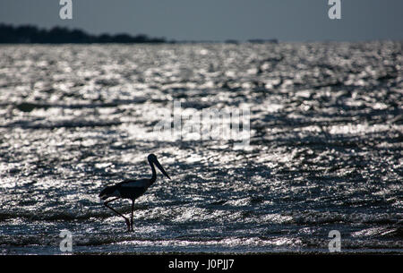 A black-necked stork walks in the shallows of the sea searching for prey. - Stock Photo