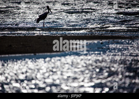 A silhouetted black-necked stork waits in the shallows of the sea, Weipa, Queensland - Stock Photo