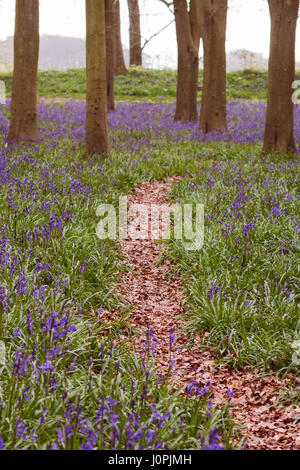 Pathway Through Bluebell Wood, Wiltshire - Stock Photo