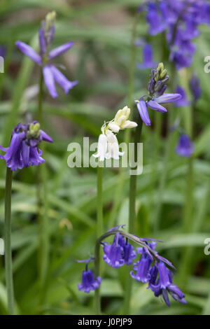 White Bluebell Flower, surrounded by Blue Bluebell Flowers - Stock Photo