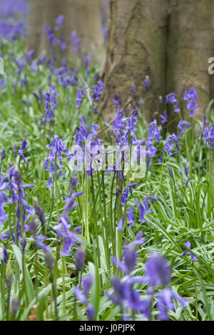 Bluebell Wood, Wiltshire - Stock Photo
