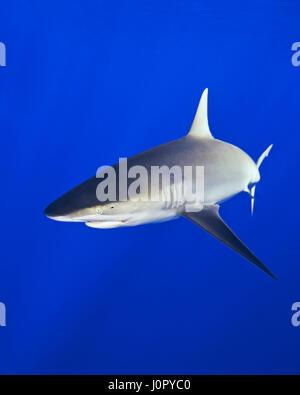 Galapagos Shark, Carcharhinus galapagensis, Hawaii, USA - Stock Photo