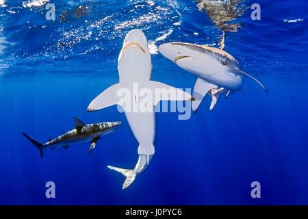 Group of Galapagos Shark, Carcharhinus galapagensis, Hawaii, USA - Stock Photo