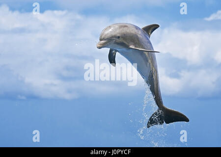 Juvenile Bottlenose Dolphin, Tursiops truncatus, Caribbean, Bahamas - Stock Photo