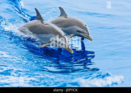 Pantropical Spotted Dolphin, Stenella attenuata, Hawaii, USA - Stock Photo