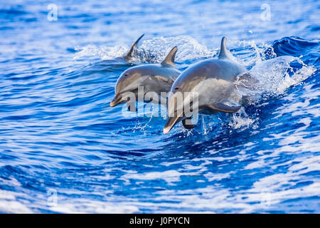 Pantropical Spotted Dolphin, Mother and Calf, Stenella attenuata, Hawaii, USA - Stock Photo