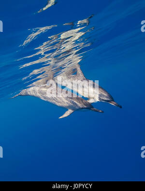 Long-snouted Spinnder Dolphins, Stenella longirostris, Hawaii, USA