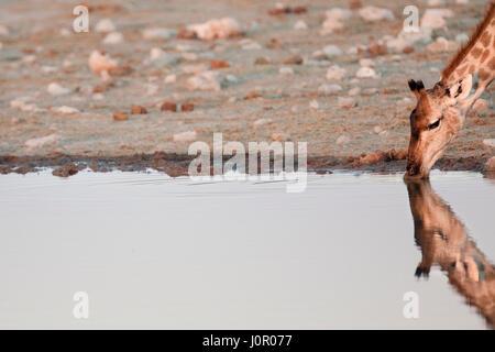 Giraffe drinking at a waterhole - Stock Photo